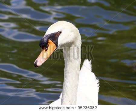 The Funny Mute Swan