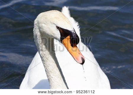 The Beautiful Portrait Of The Thoughtful Mute Swan