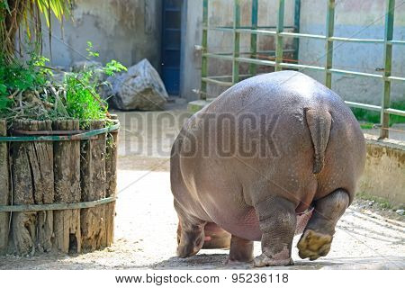Hippopotamus Seen From Behind In A Zoo