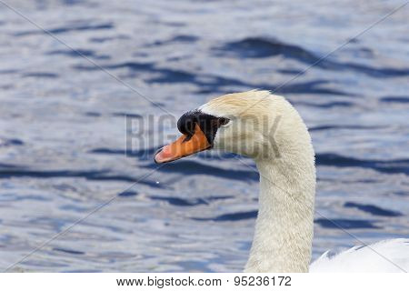 The Beautiful Close-up Of The Male Mute Swan In The Lake