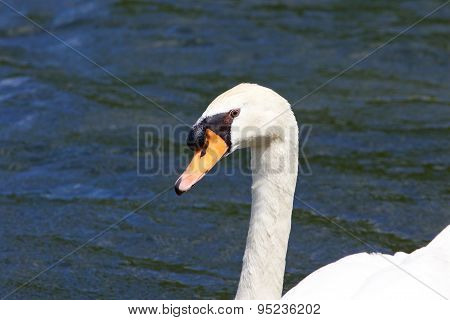 The Mute Swan In The Lake Close-up