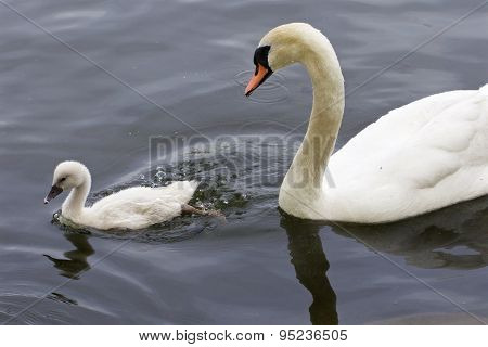 The Mute Swan And Her Cute Chick Are Swimming In The Lake