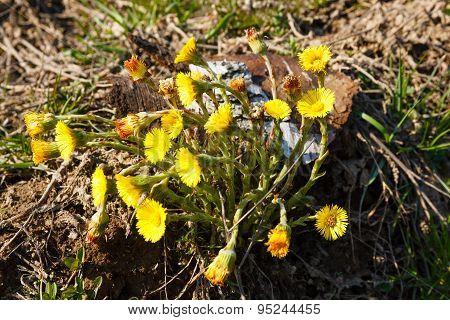 First Spring Flowers Tussilago Farfara (coltsfoot, Foalfoot).