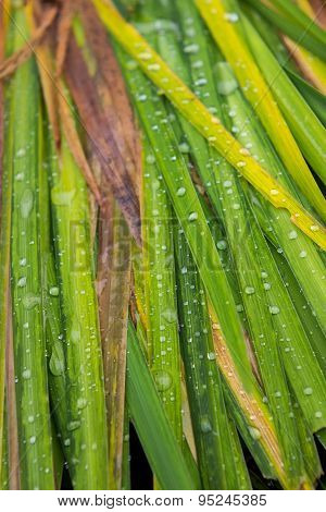 Palm branches with rain drops