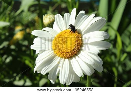 Insect crawling on camomile.