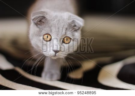 Close-up portrait of Scottish fold cat
