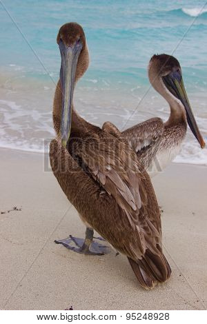 A couple of brown pelicans on the ocean background