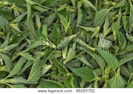 Nettle Tips