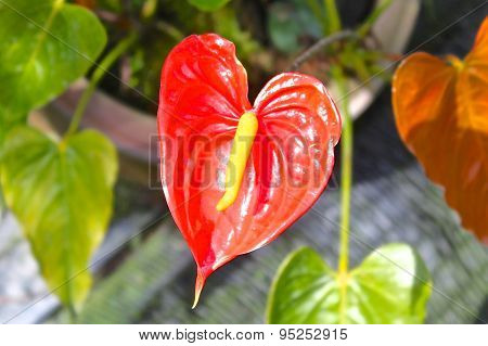 Blooming Bright Red Tropical Flower