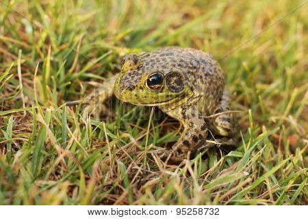 spotty green frog in profile in grass