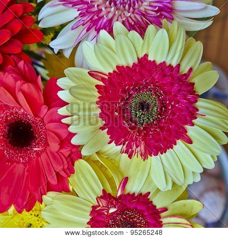 colorful Gerber daisy flowers