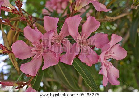 dark pink oleander closeup