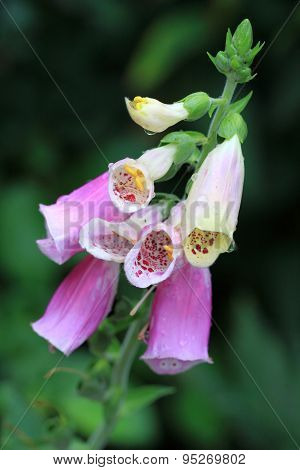 Rosy Digitalis purpurea flowers