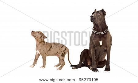 Adult dog and puppy of the breed pit bull