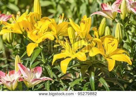 Big Yellow Flowers Of A Lily On Flowerbed