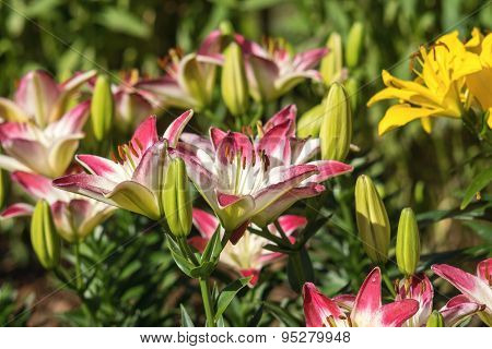 Red With The White Flowers Of A Lily On Flowerbed