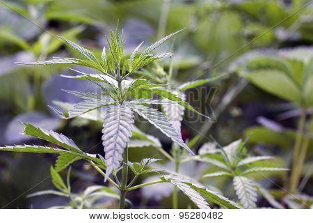Cannabis Plant Leaves