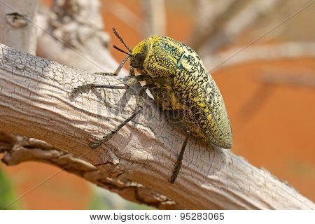 Sulphurous Jewel Beetle