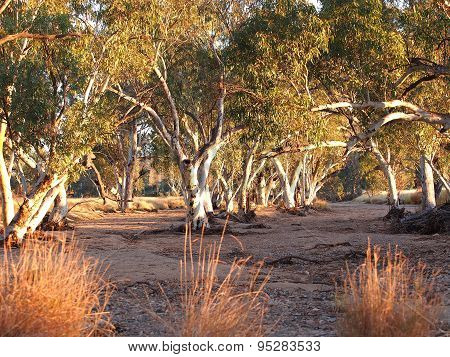 Gum trees in the dry