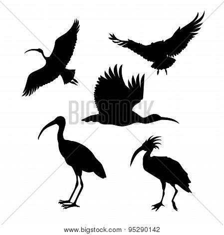 Vector silhouettes of a ibis.
