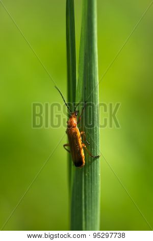 Beetle firefighter crawling on the stalk of grass