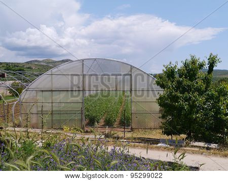 Potato plants in a Croatian glass house of plastic
