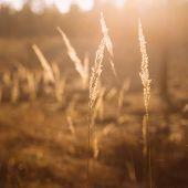 foto of dry grass  - Dry Red Grass Field In Sunset Sunlight - JPG