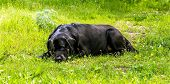 foto of labradors  - Black labrador - JPG