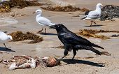 picture of peculiar  - Australian raven With gains on the seafront - JPG