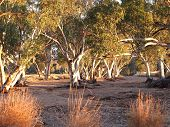 Постер, плакат: Gum trees in the dry Roe creek river bed in the late afternoon near Simpsons Gap