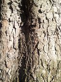 stock photo of chestnut horse  - Peeling horse chestnut bark with a shadow and moss - JPG