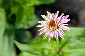 picture of zinnias  - A single pink Zinnia flower just blossomed in a garden under the warm summer sun - JPG