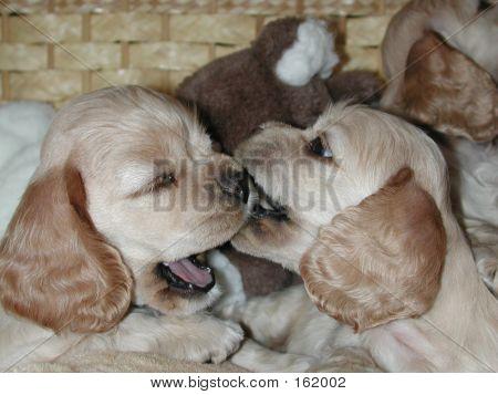 Cocker Spaniels Pups