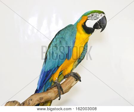 Colorful parrot landed on branch isolated on white Blue-and-yellow macaw