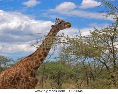 Giraffe With An Acacia, Serengeti Park, Tanzania