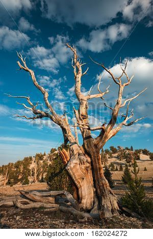 The Bristlecone Pine is the oldest living beings on earth. Some are known to be older than even the Romans. The White Mountains in California has a few groves of these pines.