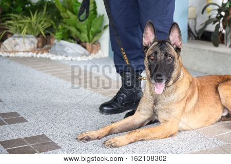 awareness k 9 alsatian dog crouch and looking beside law enforcement trainer