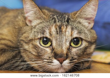 Closeup of a gray striped domestic playful cat indoors