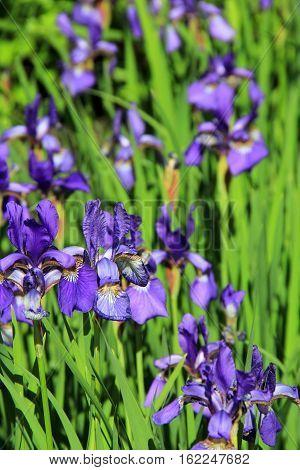 Gorgeous color of purple Iris in pretty landscaped garden.