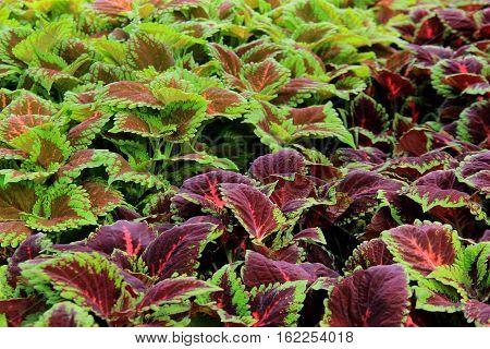 Horizontal image of colorful varieties of coleus plants in garden