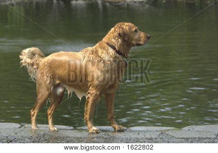 Golden Retriever Dripping Wet