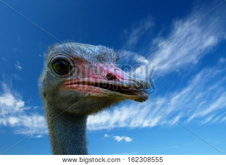 ostrich bird head and neck  portrait