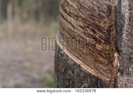 Trunk rubber Hevea brasiliensis tree Tapping latex from a rubber tree.
