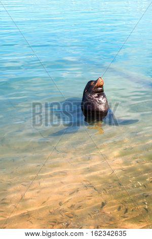 California Sea Lion in marina in Cabo San Lucas Baja MEX BCS