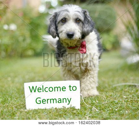 picture of a The cute black and white adopted stray dog on a green grass. focus on a head of dog. Text welcome to germany