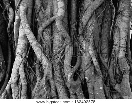 Banyan Tree root texture background at the forest