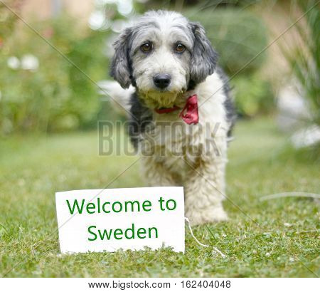 picture of a The cute black and white adopted stray dog on a green grass. focus on a head of dog. Text welcome to sweden