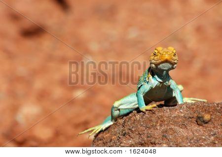 Painted Desert Lizard