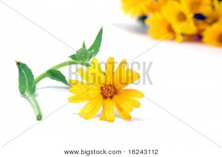 closeup of a yellow wildflower and a bunch isolated on a white background