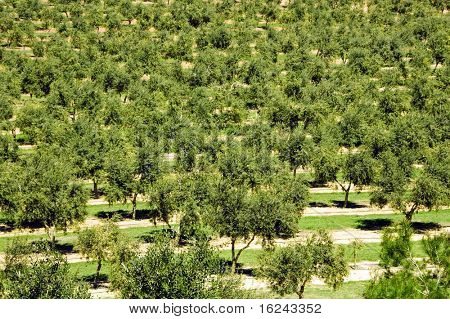 several olive groves in mont-roig del camp, catalonia, spain